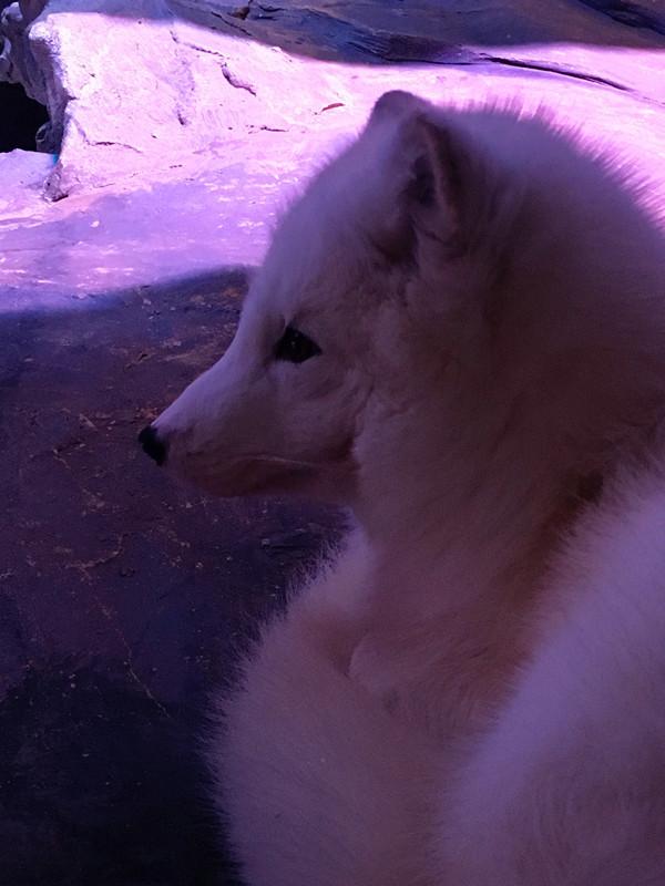 雪狐也好可爱呢,当然好想再买一只来的