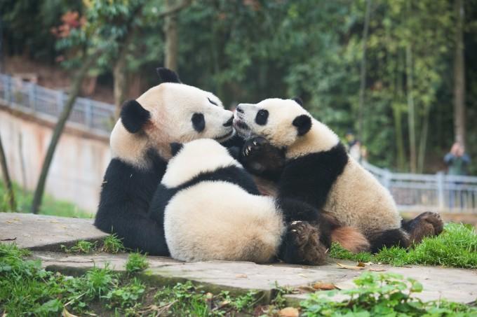 在管理中心,工作人员强调了志愿者期间的注意事项。不能伤害熊猫,不能随意喂食,不能摸熊猫,不能随意进入工作区域,不要试图坐在熊猫身边和熊猫自拍之类的,都是基本的。 熊猫虽然在人类的呵护下长大,但本性是凶猛野性的动物。饲养员和滚滚之间有着良好的信任关系。我们作为陌生的叔叔阿姨,是不会在短时间内取得它们的信任的(桑心)。因此工作、喂食的时候不要离熊猫太近。不过熊猫腿短嘛,在臂长范围之外.